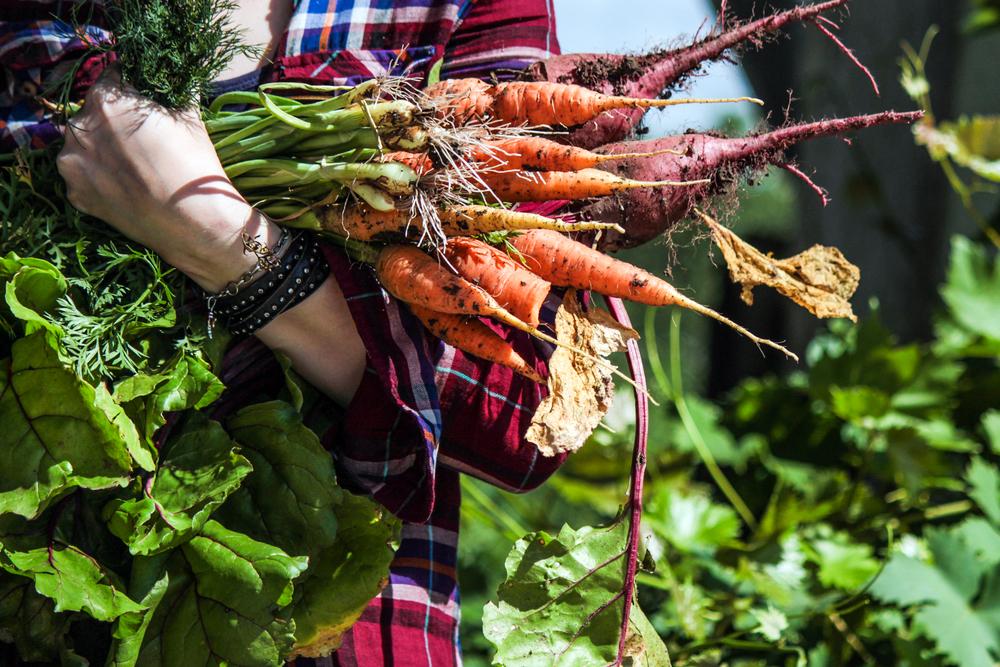 Úroda - mrkva, cvikla v rukách