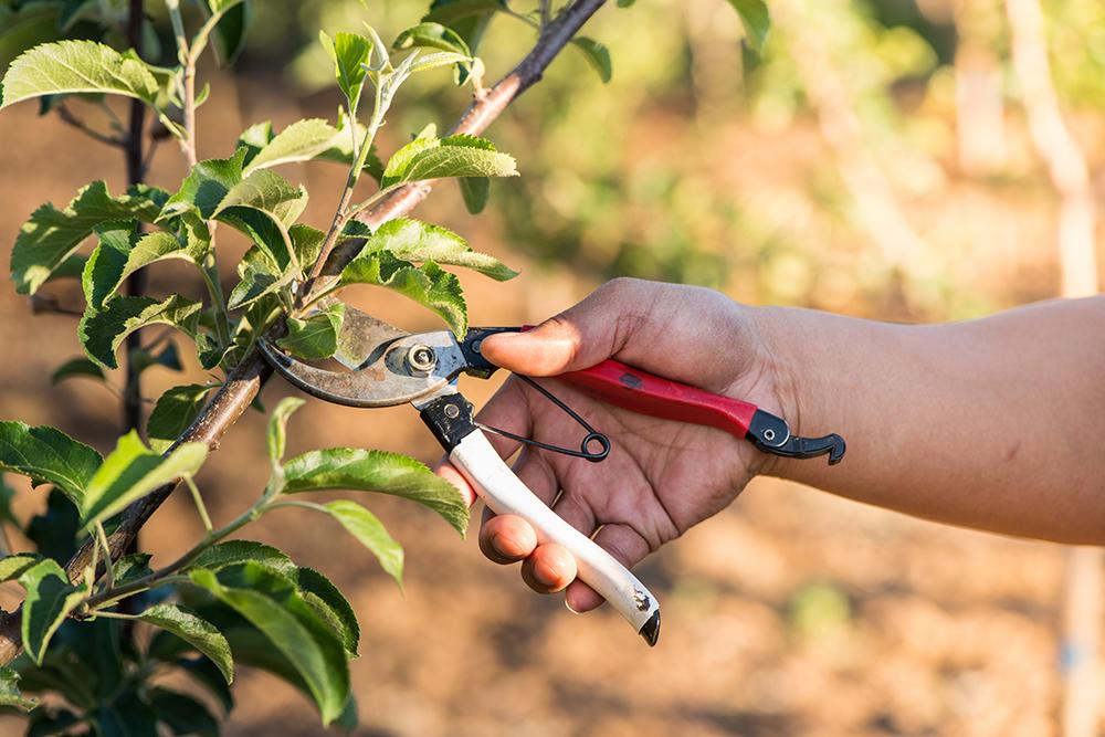 Ruka strihajúca konárik jablone