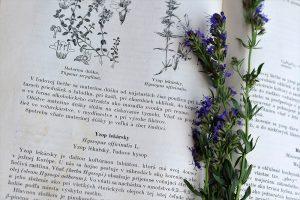 Yzop lekársky položený na knihe o bylinkách