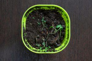 Padanie klíčnych rastlín