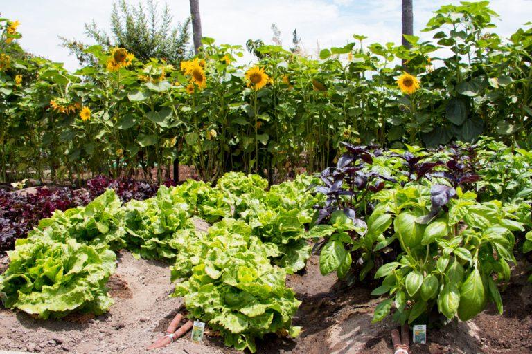 Záhrada so slnečnicami a zeleninou