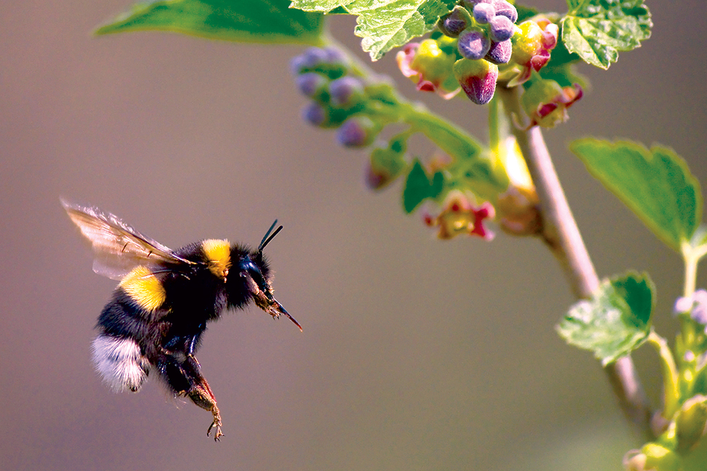 Čmeliak letiaci na kvet