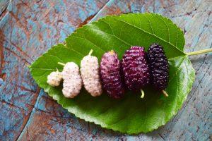 Plody moruše poukladané na liste