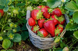 Jahody v košíčku v záhrade