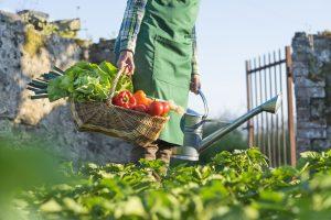 Záhradkár v záhrade s košíkom úrody
