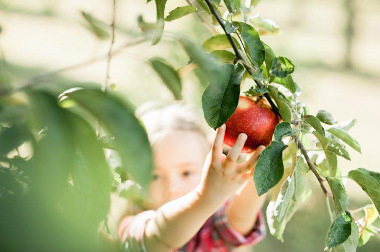 Dieťa trhajúce jablko v záhrade