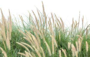 Ozdobná tráva
