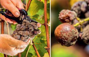 Pleseň sivá - botrytída na viniči