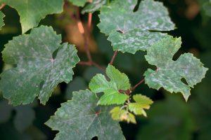 Múčnatka viniča
