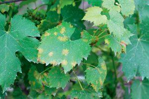 Perenospóra viniča