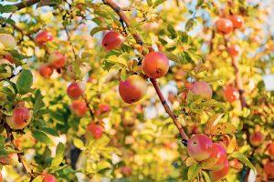 Jabloň s jablkami na jeseň