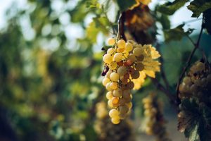 Strapec bieleho hrozna na viniči na jeseň