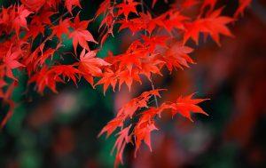 Červené listy na japonskom javore