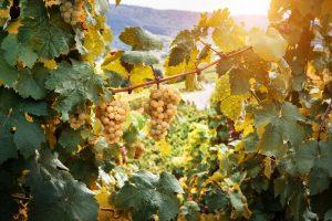 Biele strapce hrozna vo vinici