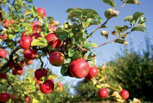Jabloň s jablkami