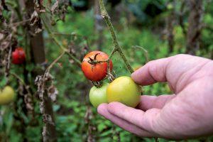 Nedozreté rajčiny