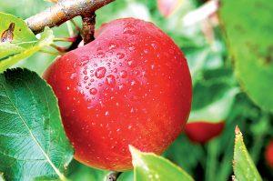 Jablko na strome