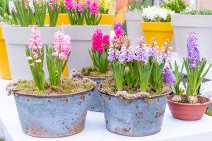Hyacinty v kvetináči