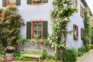 Popínavé biele a červené ruže rastúce vedľa domu