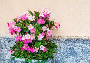 Mandevila v kvetináči