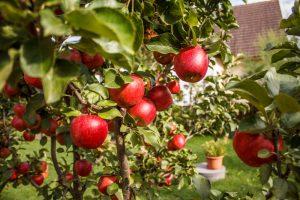 ˇuroda jabĺk na jabloni