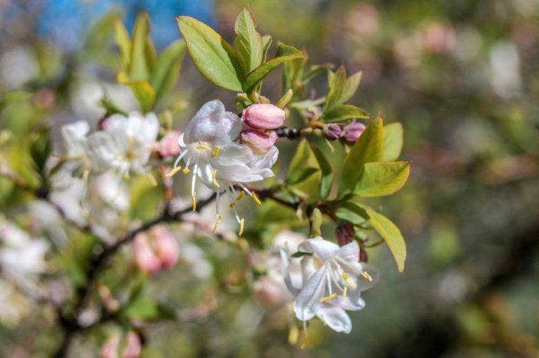 Kvitnúci ker