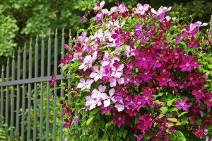 Plamienok rastúci pri plote
