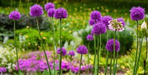Kvitnúci okrasný cesnak