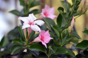 Ružové kvety mandevila