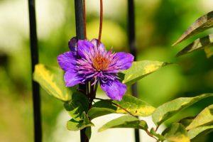 Fialový kvet clematisu