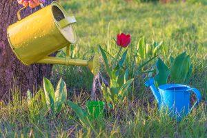Rozkvitnutý červený tulipán v záhrade