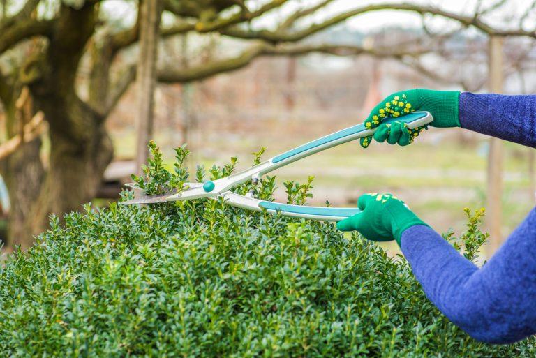 Strihanie kríka v záhrade