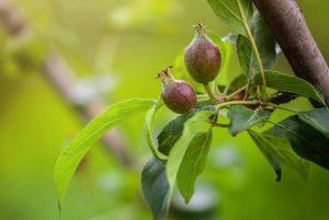 Mladé plody jabĺk na jabloni