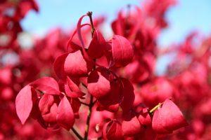 Červené listy kríka
