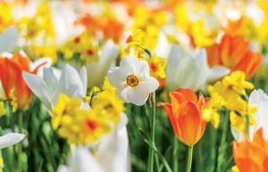 Rozkvitnuté narcisy a tulipány