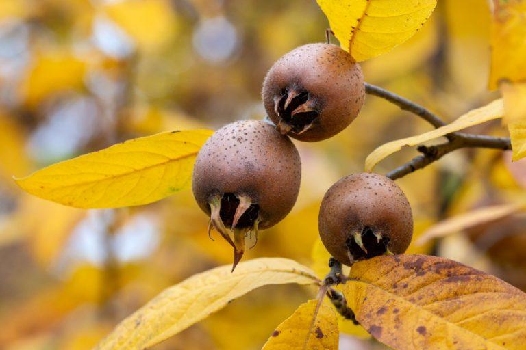 Mišpuľa na kríku, žlté jesenné lístie