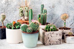 Kaktusy v črepníkoch