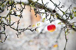 Jablko na zamrznutej jabloni, zima
