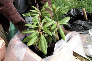Výsadba rastliny do kvetináča