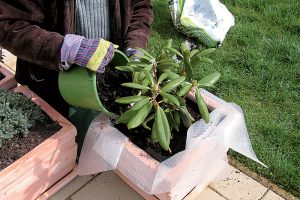 Výsadba rododendrona