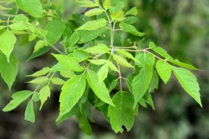 Javorovec jaseňolistý