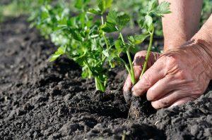 Výsadba priesad zeleru