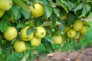 Jablká, odroda Golden delicious