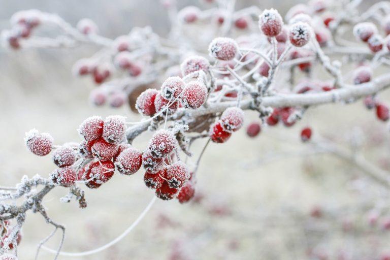 Zamrznuté červené plody
