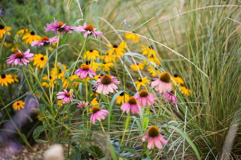 Kvety v záhone, echinacea