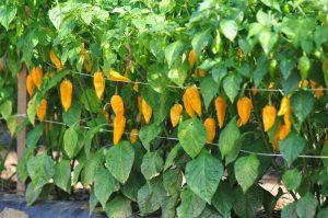 Chilli v záhrade