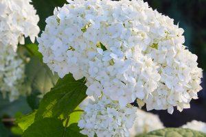 Hortenzia stromčekovitá