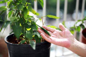 Chilli papričky v kvetináči