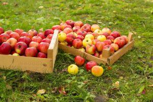 Jablká v bedničkách na tráve