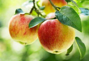 Konár jablone s jablkami